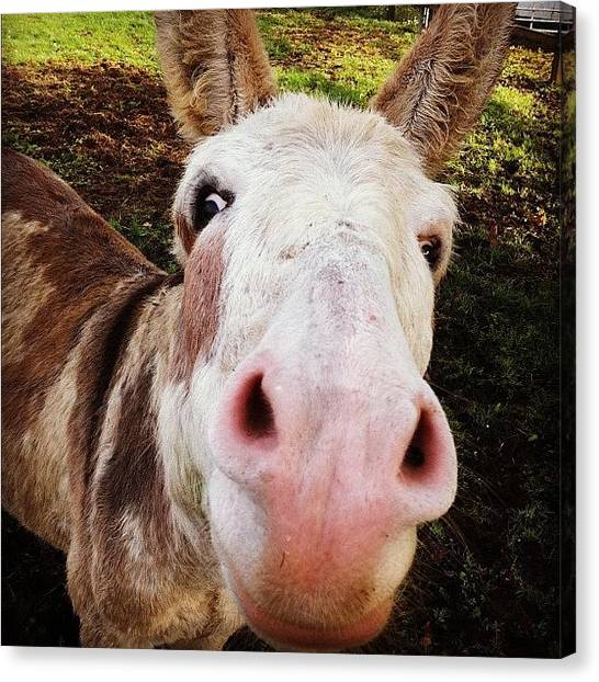 Farm Animals Canvas Print - Whaaaat You Lookin At!!! #donkey by Ash Hughes