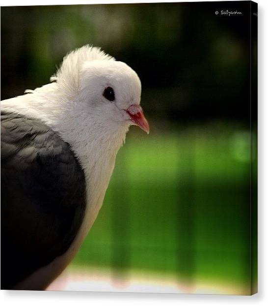 Dove Canvas Print - What A Lovely hairstyle This  Dove by Sylvia Kepler-Albert