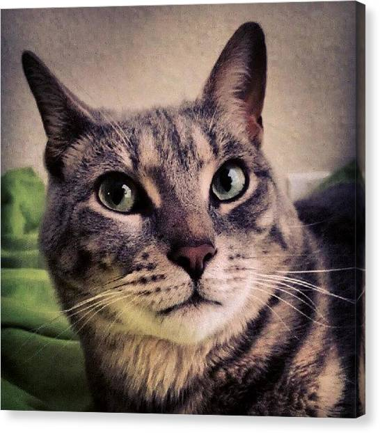 Innocent Canvas Print - What? #cat #catsofinstagram #kitty by Arayon Shaw