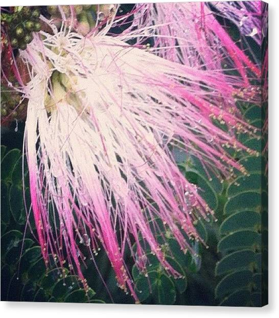 Mimosa Canvas Print - What Type Of Tree/flower Is This? by Mel F.