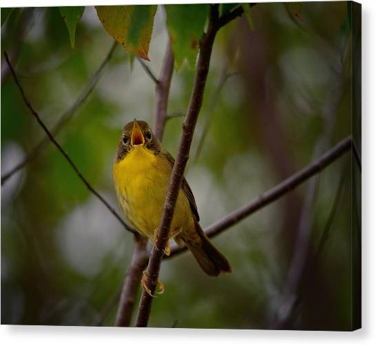 Warblers Canvas Print - What Warblers Do by Susan Capuano