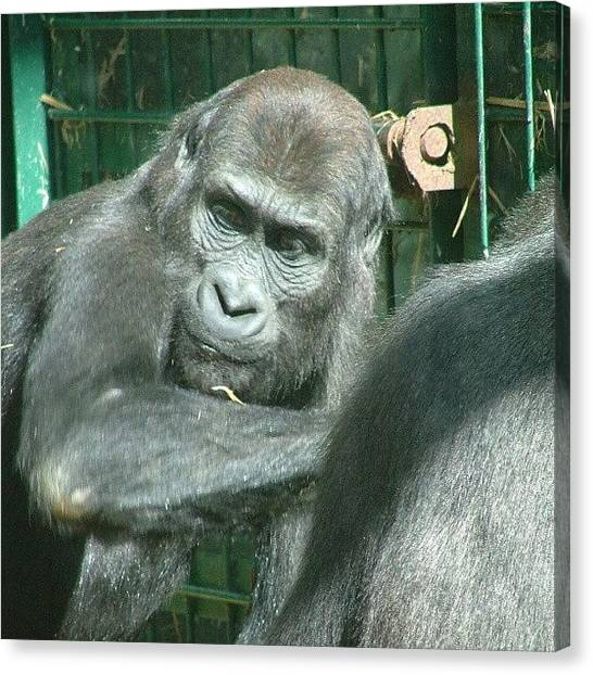 Apes Canvas Print - What You Looking At? by Gareth Brand