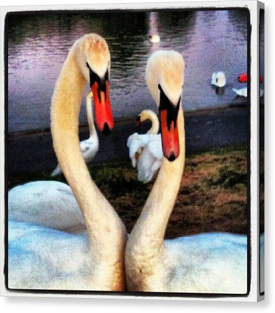 Swans Canvas Print - #whatyoulookinat? #swan #swans #birds by Kevin Zoller