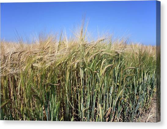 Wheat Field (triticum Sp.) Canvas Print by Victor De Schwanberg