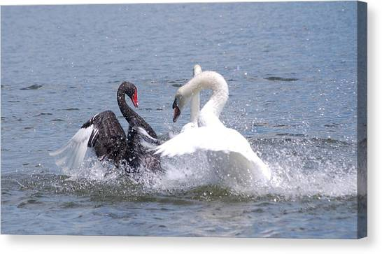 When Swans Attack Canvas Print by Carrie Munoz