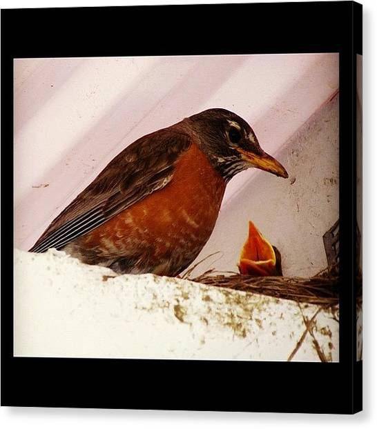 Robins Canvas Print - Where's Lunch?????🐧😢🐧 by Avril O