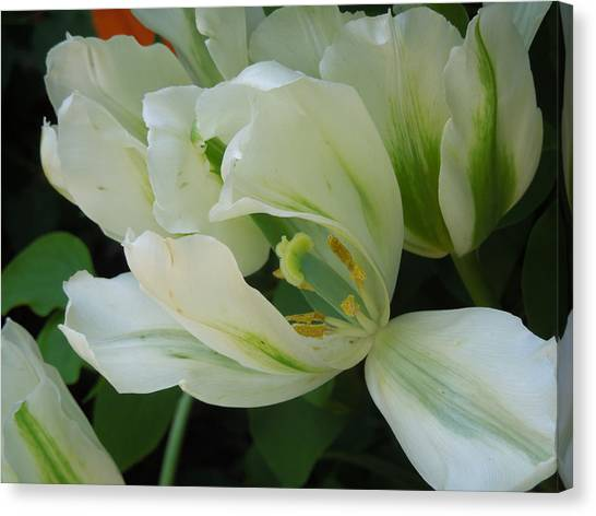White And Green Tulip Canvas Print