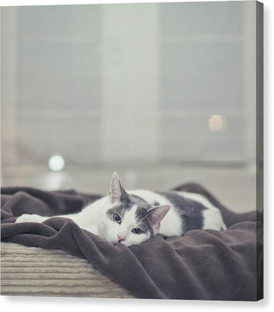 Cat Canvas Print - White And Grey Cat Lying On Brown Blanket by Cindy Prins