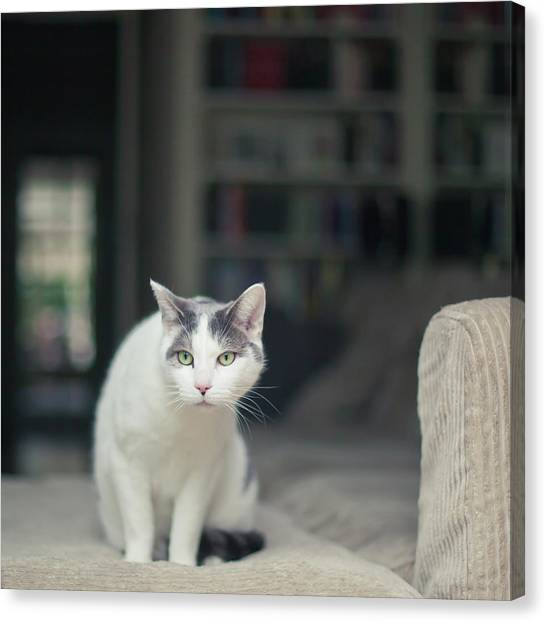 White And Grey Cat On Couch Looking At Birds Canvas Print