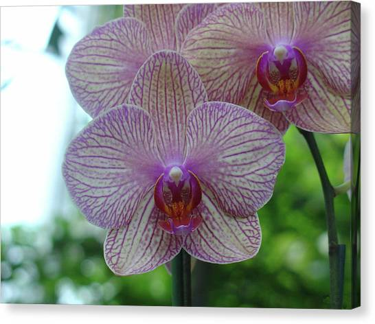 White And Pink Orchid Canvas Print