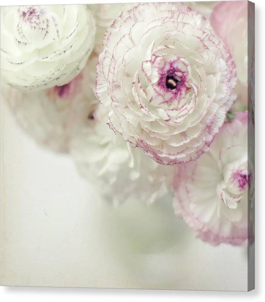 White And Pink Ruffled Ranunculus Flowers Canvas Print by Cindy Prins