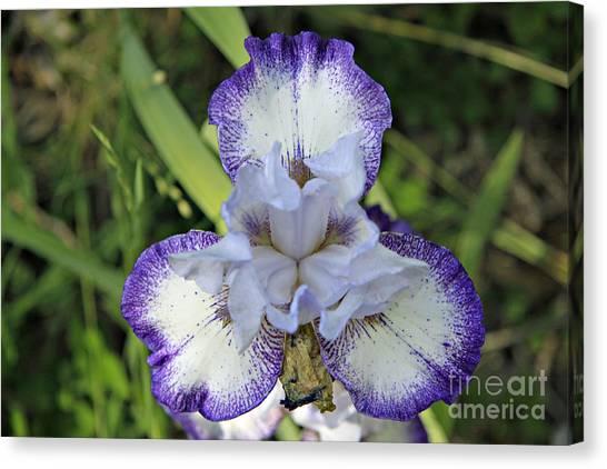 White And Purple Stripe Canvas Print