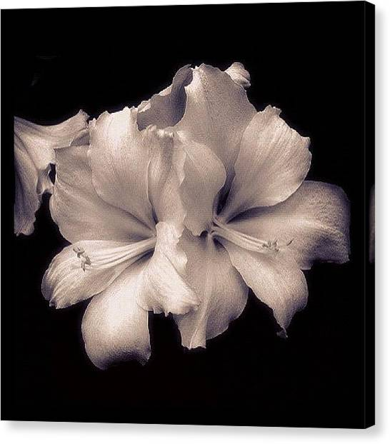 Lilies Canvas Print - White Asiatic Lily by Penni D'Aulerio