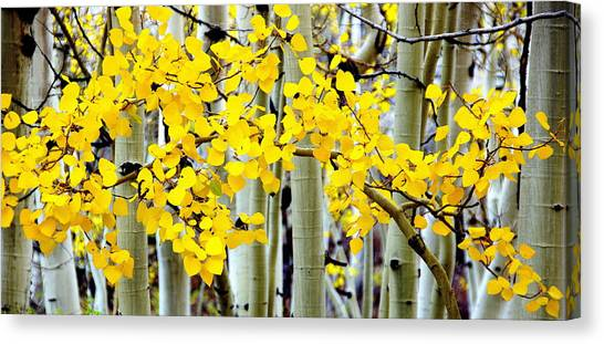 White Aspen Golden Leaves Canvas Print