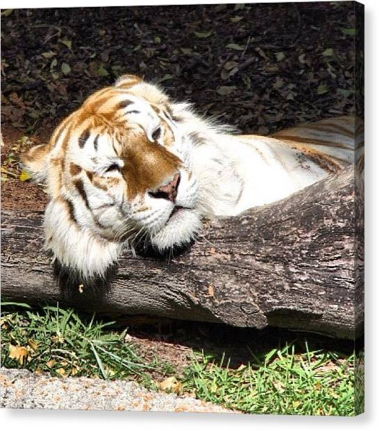 Tigers Canvas Print - White Bengal Tiger by Avril O