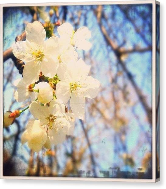Smallmouth Bass Canvas Print - White Blossom  by Marc Gascoigne