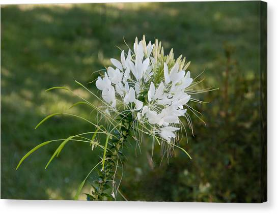 White Cleome Canvas Print