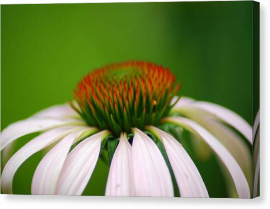 White Coneflower Canvas Print