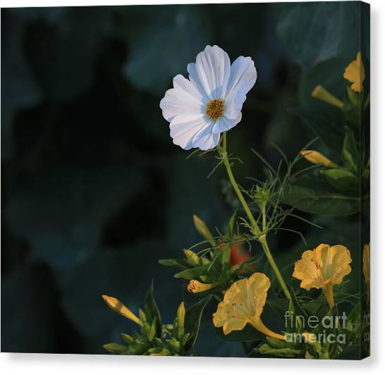 White Cosmos And Four O'clock Floral Canvas Print by Marjorie Imbeau