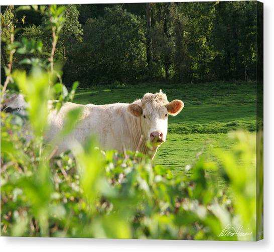 White Cow Canvas Print