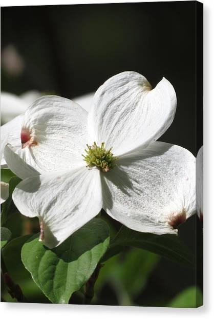 White Dogwood Canvas Print