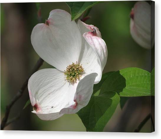 White Dogwood Tree Bloom Canvas Print