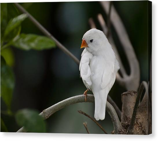 White Finch Canvas Print