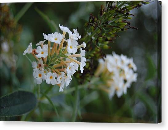 White Flower Canvas Print by Beverly Hammond