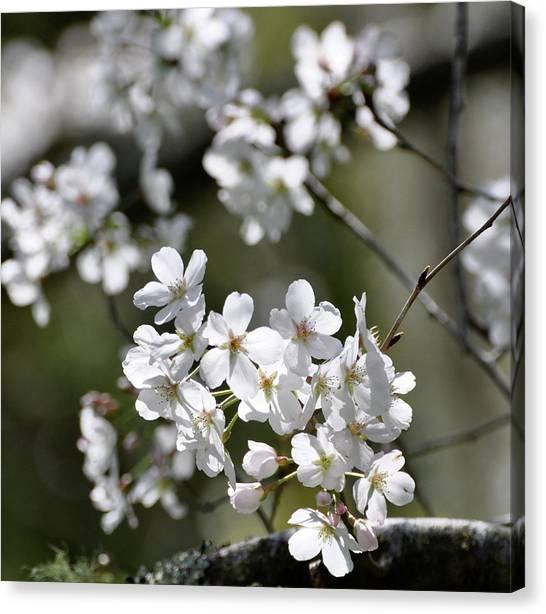 White Flowering Plum Canvas Print