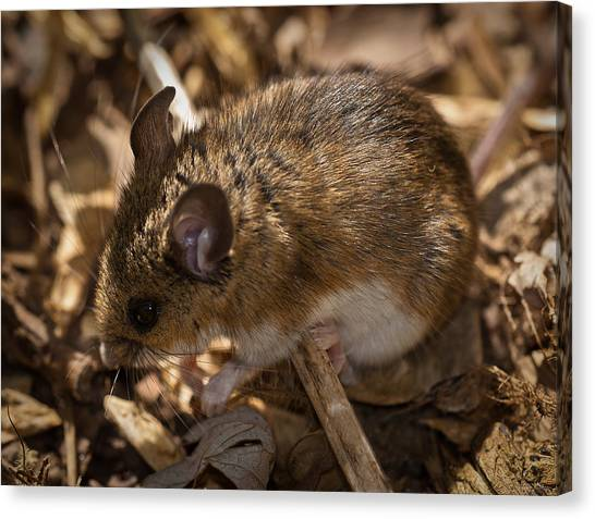 White-footed Mouse Canvas Print