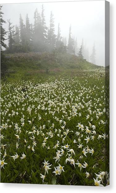 White Glacier Lily (erythronium Montanum) Canvas Print by Bob Gibbons