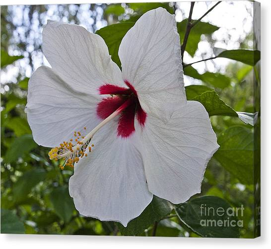 White Hibicus Canvas Print