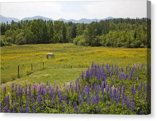 White Horse In Yellow Field Canvas Print