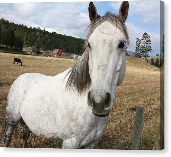 White Horse  Canvas Print