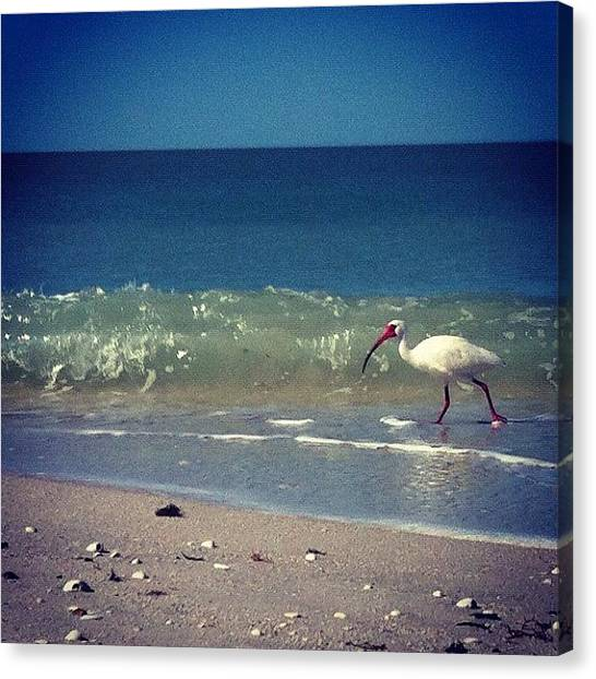 Ibis Canvas Print - White Ibis  by Katie Cupcakes