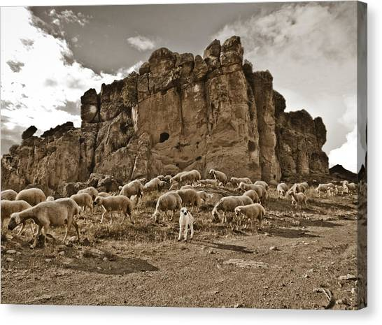 Canvas Print featuring the photograph Guzelyurt, Turkey - White Lamb by Mark Forte