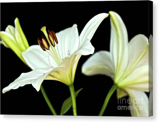White Lilies Canvas Print by Mihaela Limberea