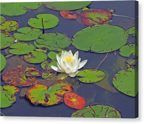 White Lilypad Flower Canvas Print