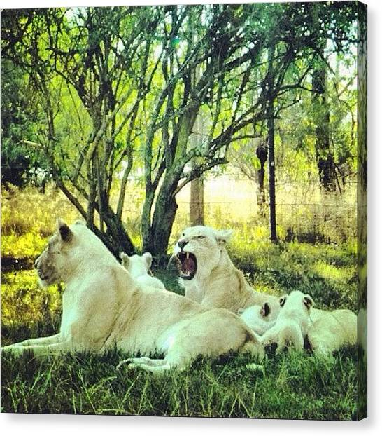 Lions Canvas Print - White Lions / Contrast + Filter Rise by Cally Stronk