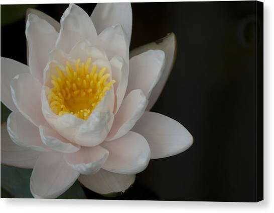 White Lotus Canvas Print