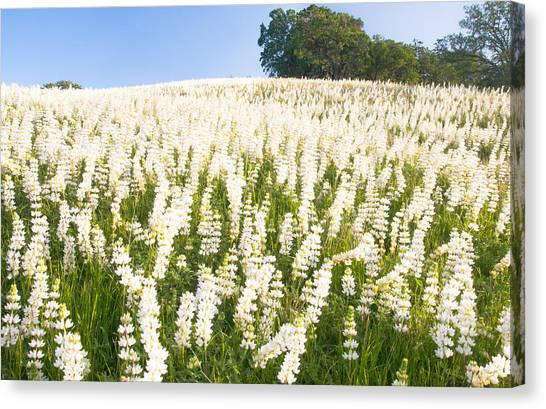 White Lupine Canvas Print