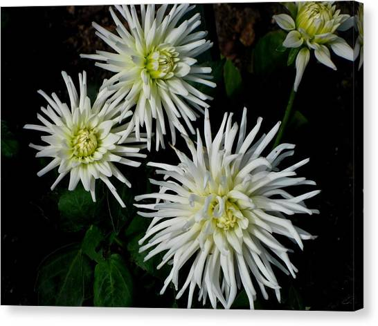 White Mums Canvas Print by Kathy Long