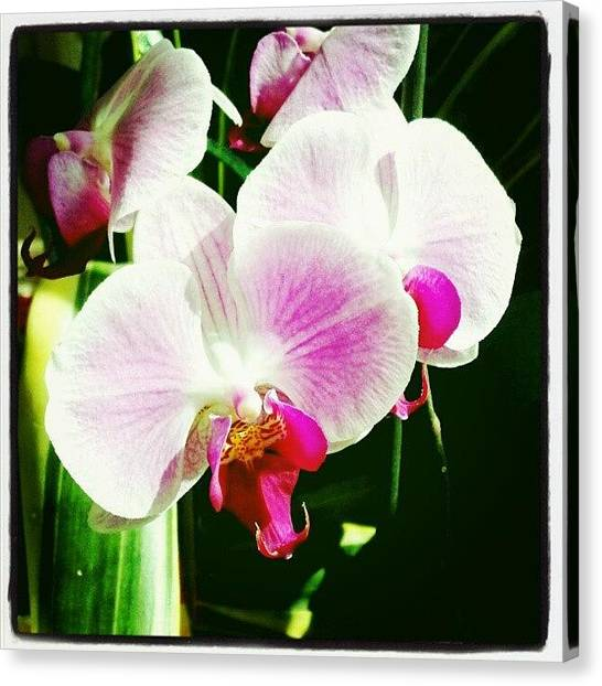 Orchids Canvas Print - #white #orchid #flower by Natalia D