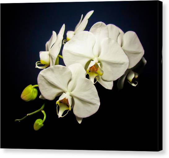 White Orchid IIi Canvas Print