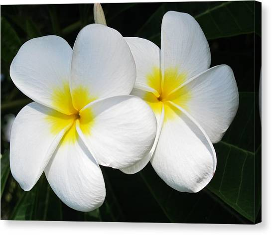 White Plumerias Canvas Print