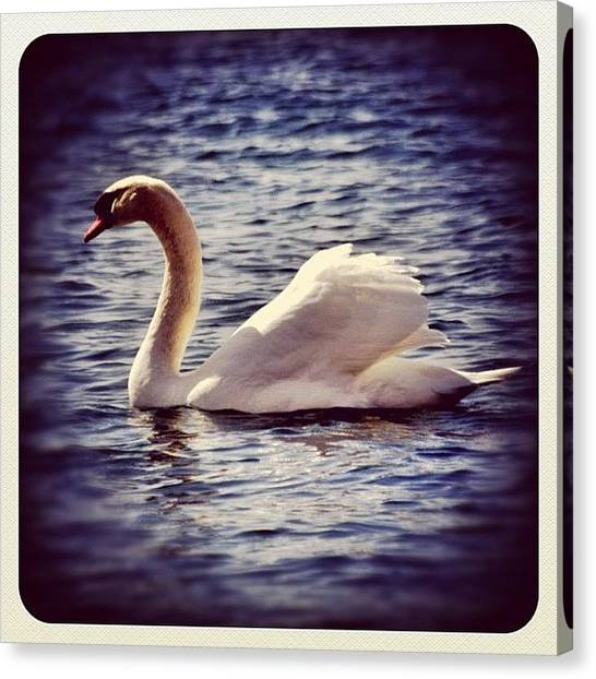 Swans Canvas Print - #white #pretty #peaceful #swan by Christinaashley Huynh