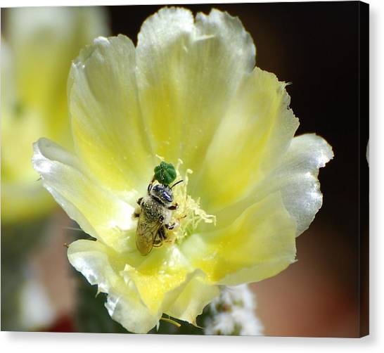 White Prickly Bee Canvas Print