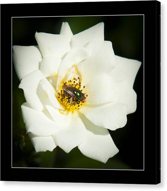 White Rose Canvas Print by Miguel Capelo