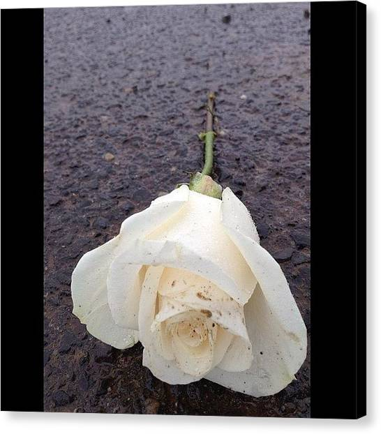 Kings Canvas Print - #white #rose #whiterose #flowers by Cai King-Young