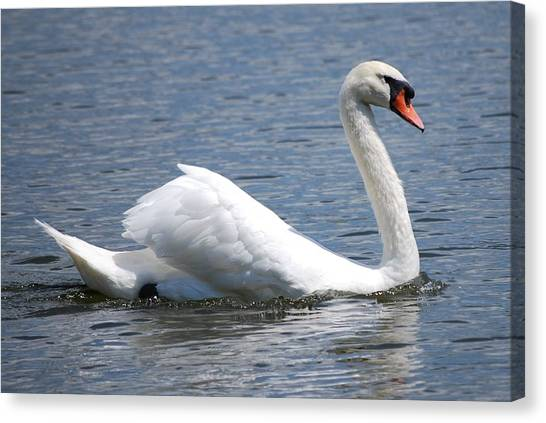 White Swan On A Lake Canvas Print by Carrie Munoz